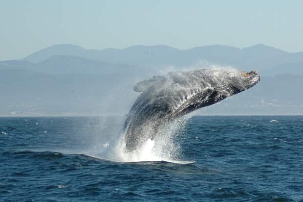 Биологи обнаружили новый вид китов в Мексиканском заливе