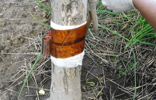Способ, который быстро избавит вас от тли и муравьев на плодовых деревьях без химии
