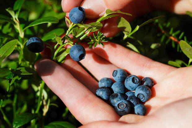 Лисий солитер налесных ягодах