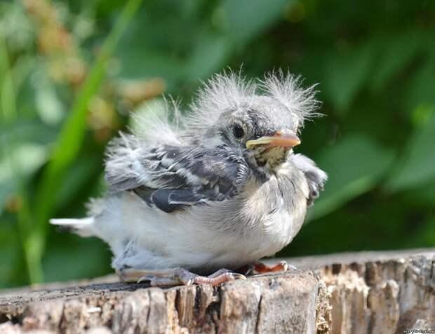 Орнитологи призывают не «спасать» слетков