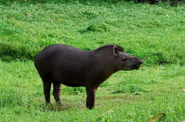 Равнинный тапир (Tapirus terrestris) фото
