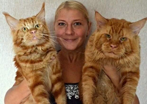 Знакомьтесь: огромный рыжий мейн-кун и его рыжая семейка