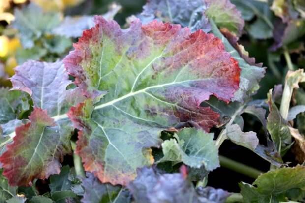 Нехватка фосфора у растений