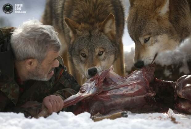 Способ выполнения простых задач говорит о многом. волк, животные, исследование