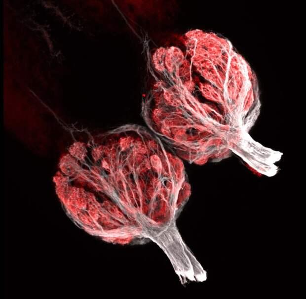 фиалками на микрофотографии во внутренней луковице показала