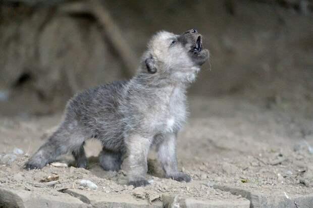 Волчата учатся выть в очень раннем возрасте.