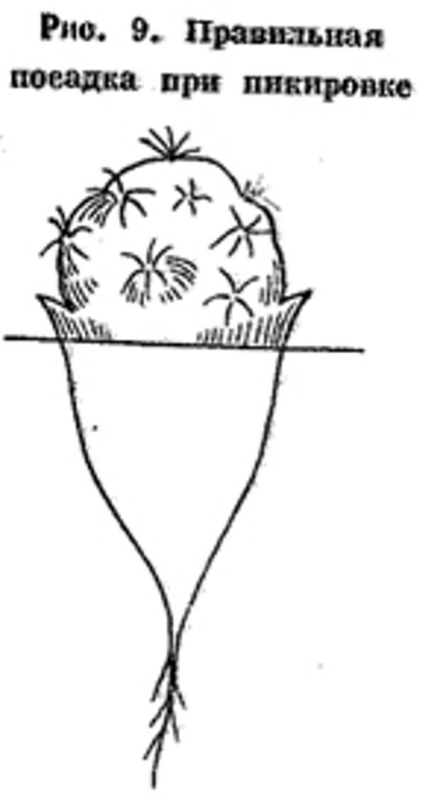 Рис 9. Правильная посадка кактуса при пикировке