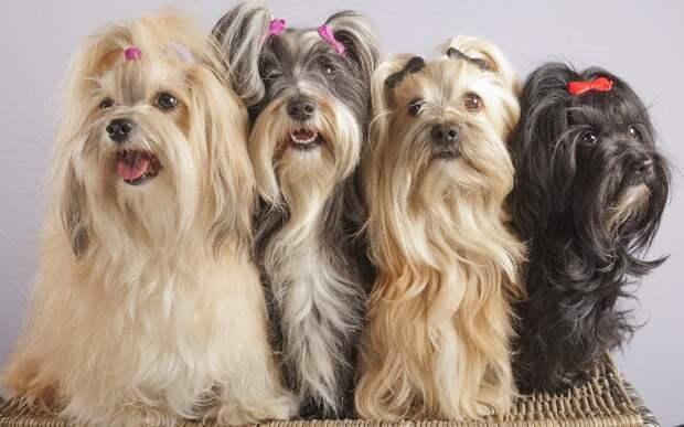 собака породы Гаванский бишон. фото