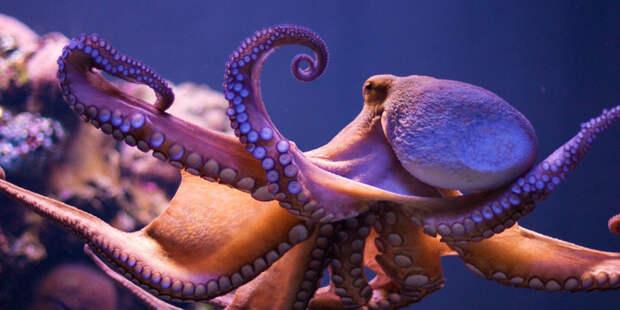 Могут ли осьминоги быть пришельцами с другой планеты
