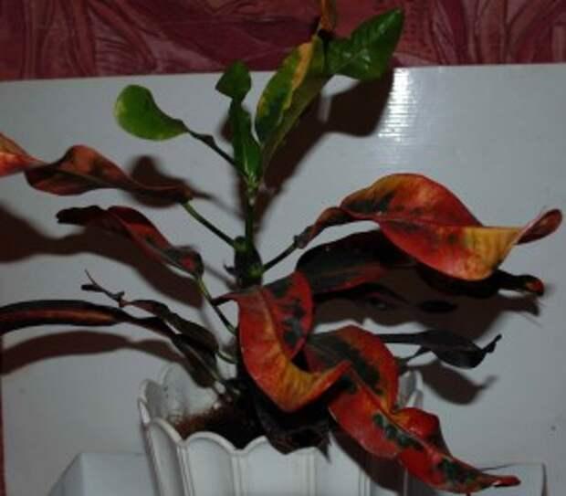 Кротон с разноцветными скрученными листочками