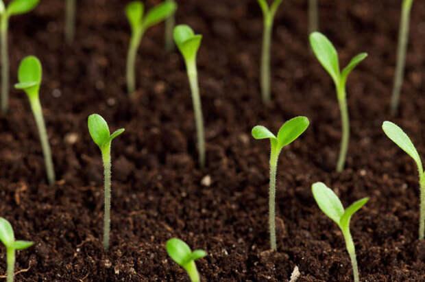 Обязательно нужно учитывать всхожесть семян