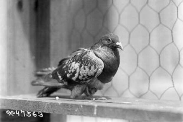 Раскрыт пол голубя-спасителя из потерянного батальона Первой мировой войны
