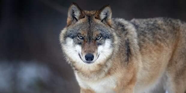 Заблуждения и интересные факты о животных: волчью стаю ведёт вожак