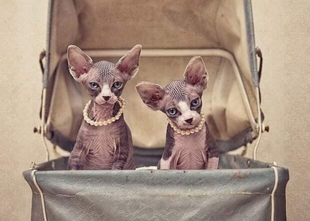 Зверские фото. Чудесные кошки-сфинксы на фотографиях Серены Ходсон коты, очень на любителя, сфинксы