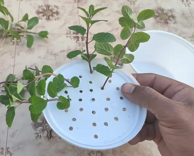 Уникальный и эффективный способ выращивать мяту дома