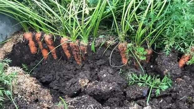 Как получить два урожая моркови в год не прореживая и не пропалывая