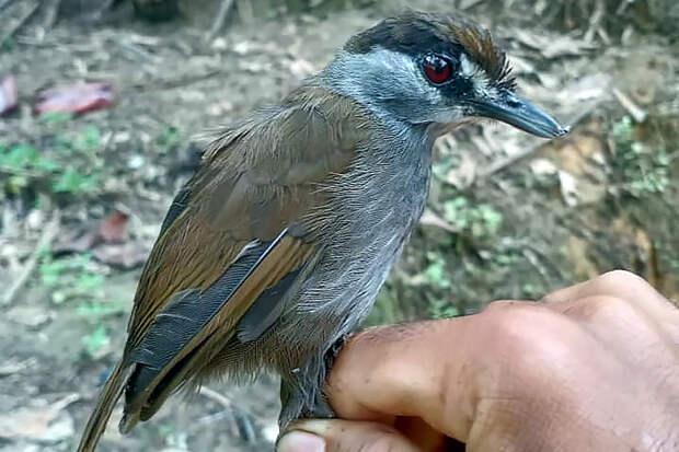Считавшаяся вымершей птица найдена в Индонезии