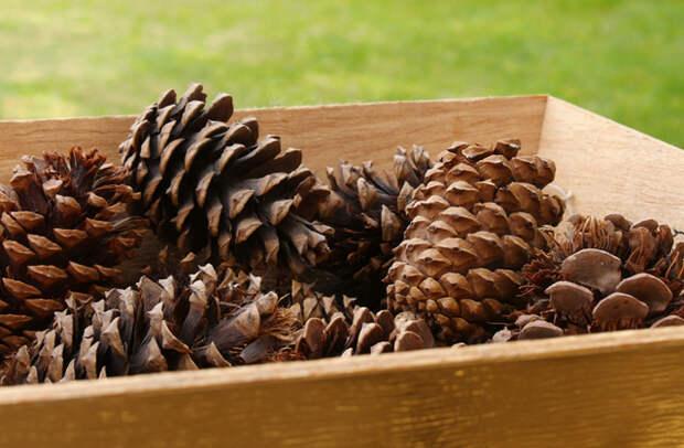 Кедровые орехи: интересные факты, польза и вред, рецепты приготовления