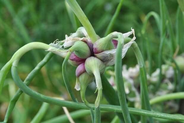 Особенности выращивания многоярусного лука