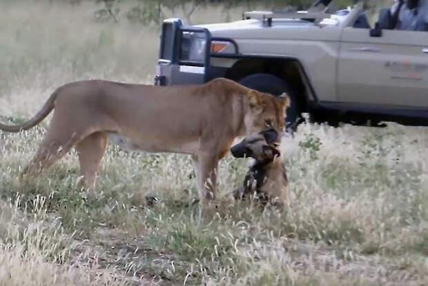"""«Достойны """"Оскара""""!»: гиеновые собаки разыграли голодную львицу"""