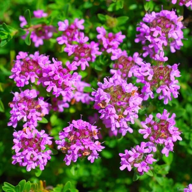 Тимьяны в саду - виды тимьяна. Тимьян: уход и размножение. Тимьян - фото Сажаем Сад