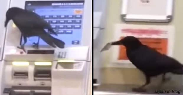Ворона в Японии украла карточку, чтобы купить билет на поезд