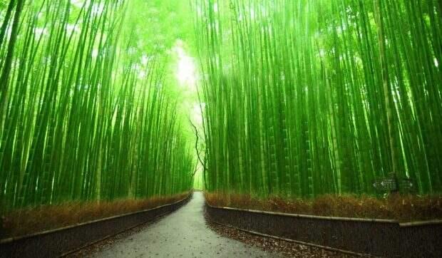 Бамбуковый лес в Японии