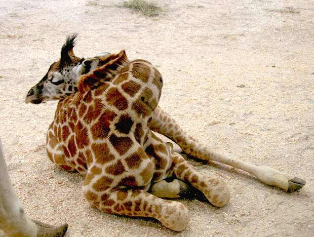 Как спит жираф?