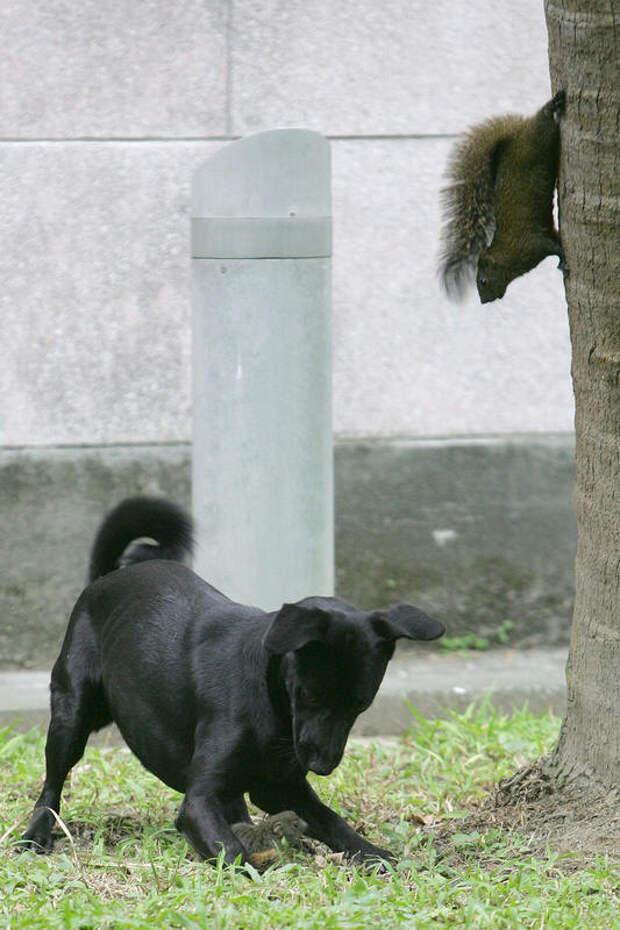 Белка спасает своего бельчонка от собаки
