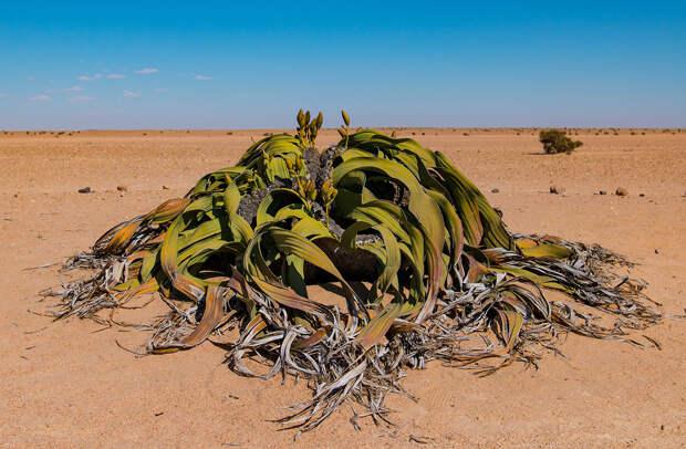 Пустыня Намиб: вельвичия удивительная