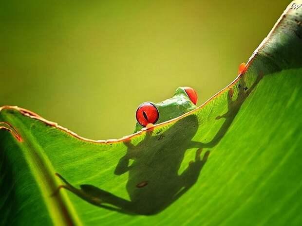 Frogs06 Оригинальные лягушки