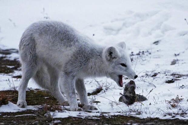 Лемминг: Создатели фильма про тундру сами бросали грызунов со скалы, чтобы создать миф о массовых самоубийствах