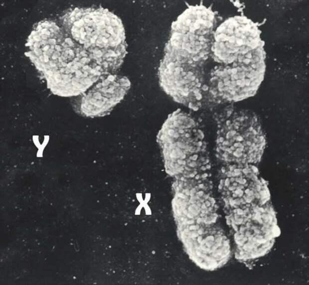 Прощай, Y-хромосома — почему мужской пол постепенно исчезает (4 фото)