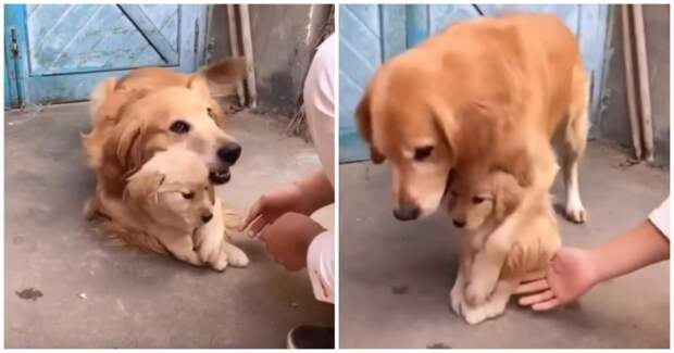 Эта собака так любит своего щенка, что не разрешает прикасаться к нему даже хозяину в мире, видео, дети, животные, забота, китай, милота, семья, собака, щенок