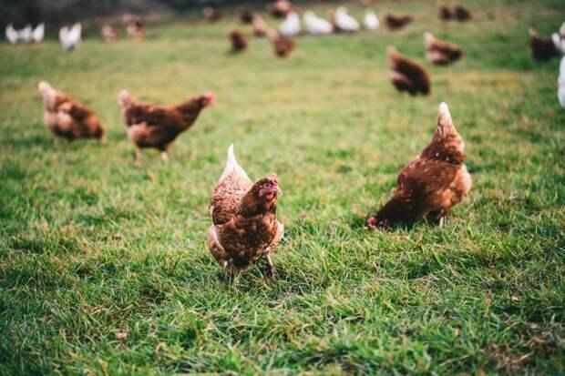 Новый и опасный птичий грипп: мифы и страхи вокруг вируса