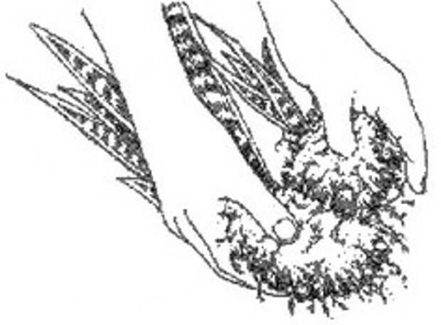 Деление корней сансевиерии