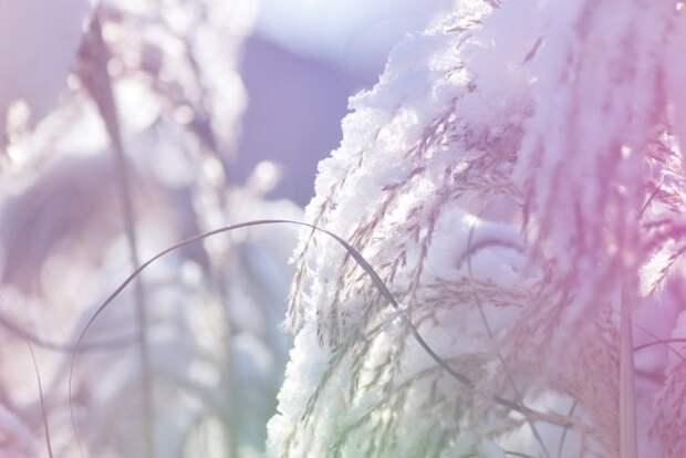 Декоративные злаки зимой
