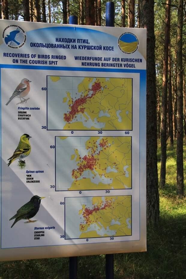 Куршская коса: каким способом орнитологи отлавливают птиц для кольцевания и изучения