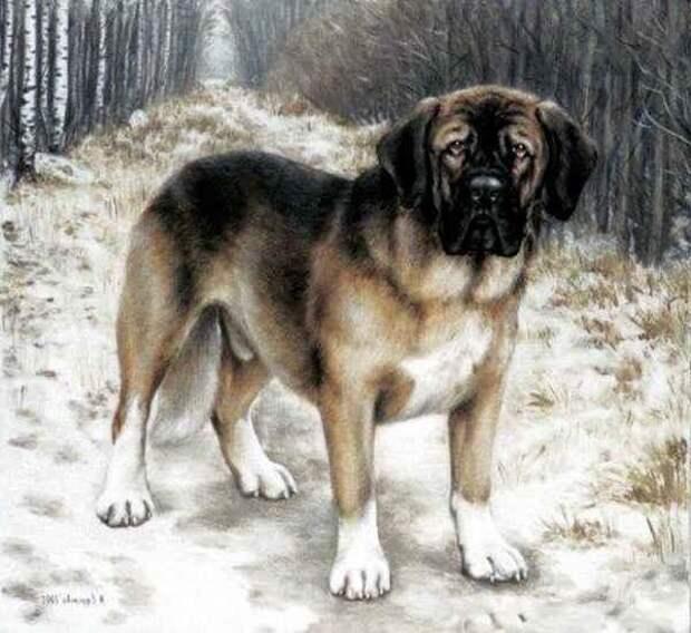 Меделянская собака — вымершая русская порода