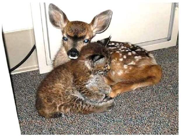 Мужчина спас от лесного пожара олененка и малыша-рысь