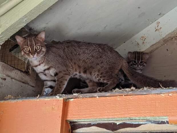 Как выглядят редкие котята ржавой кошки, самой маленькой дикой породы кошачьих