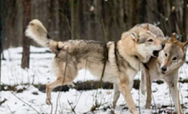 Лесник пожалел волчицу, которая пришла просить еду. Через время к нему пришли три волка