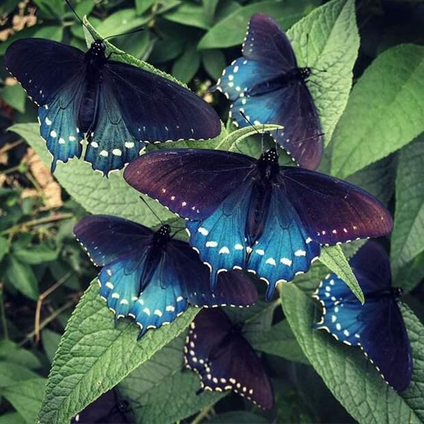 Мужчина развёл исчезающий вид бабочек на своём заднем дворе