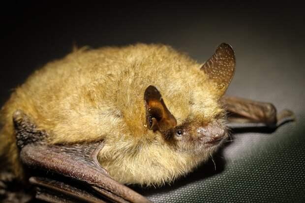 Специалисты успокоили питерцев: местные летучие мыши коронавирус не разносят