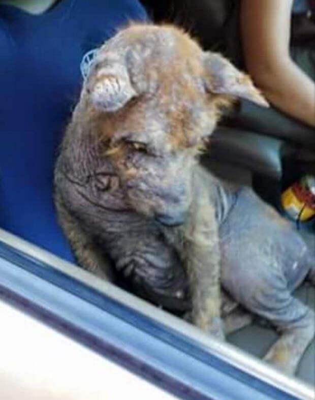Женщина нашла под своей машиной испуганного лысого пса и приняла решение спасти бедное животное