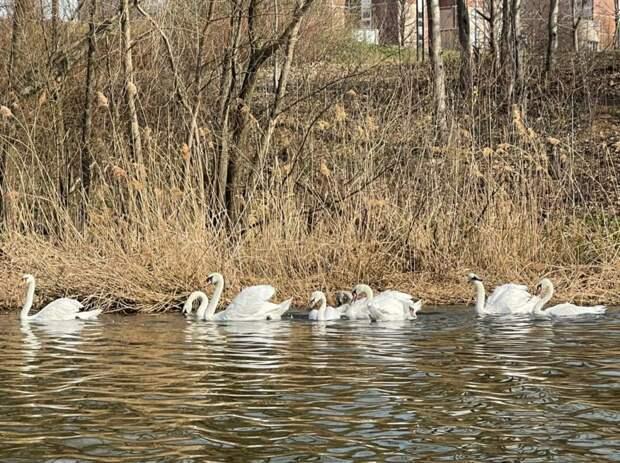 Имена для трех лебедей, поселившихся в Пенягинском пруду, выберут жители Митина