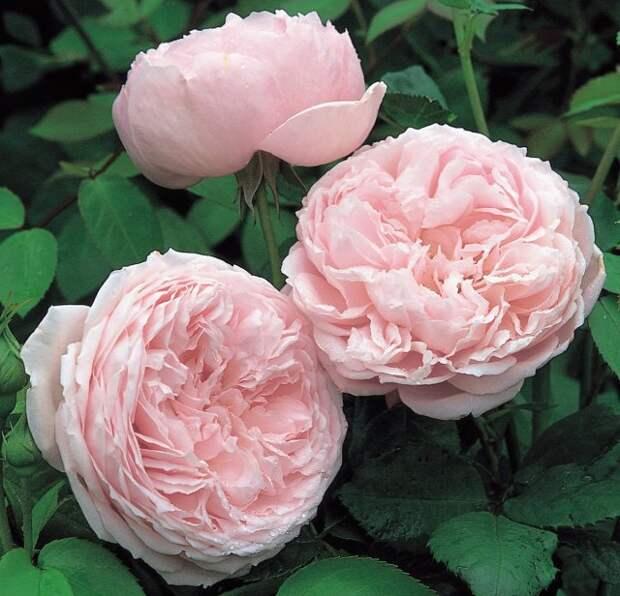 Розовые розы: 10 самых нежных сортов