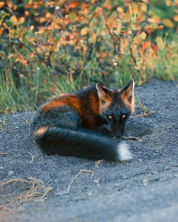 Как канадский фотограф подружился с лисой