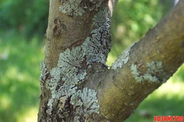Как бороться со мхом на деревьях