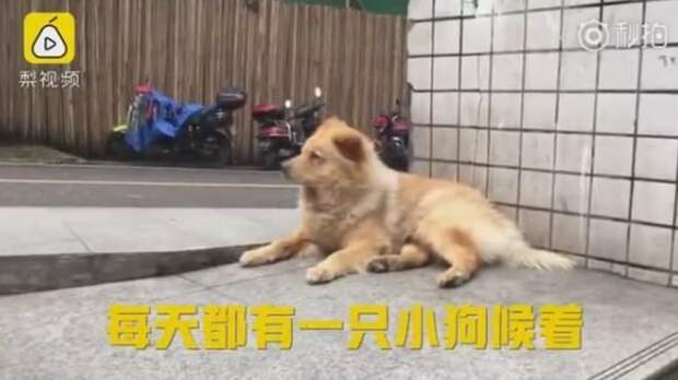 Собака, целыми днями ждущая хозяина на станции, своей преданностью покорила мир верность, дружба, животные, китай, новая Хатико, пес и хозяин, преданность, собаки